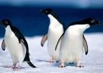 Разборка пингвинов Адели