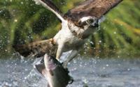 Орел охотится обои
