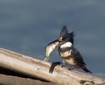 Опоясанный пегий зимородок ест