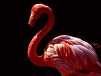 Фламинго на черном фоне обои
