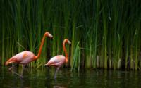 Фламинго в тростнике обои