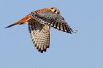 Летящая Воробьиная пустельга