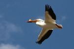 Американский белый пеликан летит