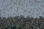Летящие Австралийские полосатые ходулончики