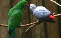 Синий и зеленый попугаи обои