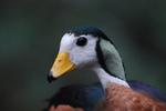 Голова африканского малого гуся