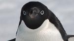 Голова пингвина Адели