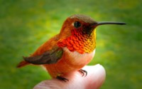 Колибри на пальце обои