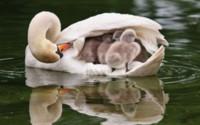 Маленькие лебеди с мамой обои