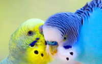 Очаровательные попугаи обои