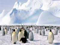 Много пингвинов обои