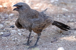 Грозная птица-апостол
