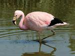 Милый Андский фламинго
