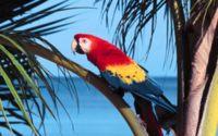 Красный ара обои
