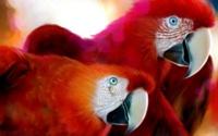 Красные ара обои
