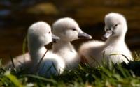 Три маленьких лебедя обои