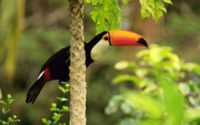 Тукан в тропическом лесу обои