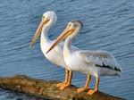 Два Американских белых пеликана