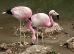 Два Андских фламинго