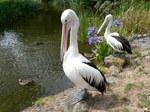 Два красивых Австралийский пеликанов