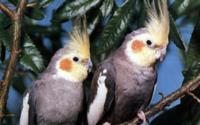 Два попугая на ветке обои