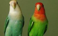 Два попугая обои