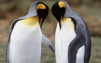 Два пингвина вместе обои