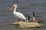 Смотрящий Американский белый пеликан