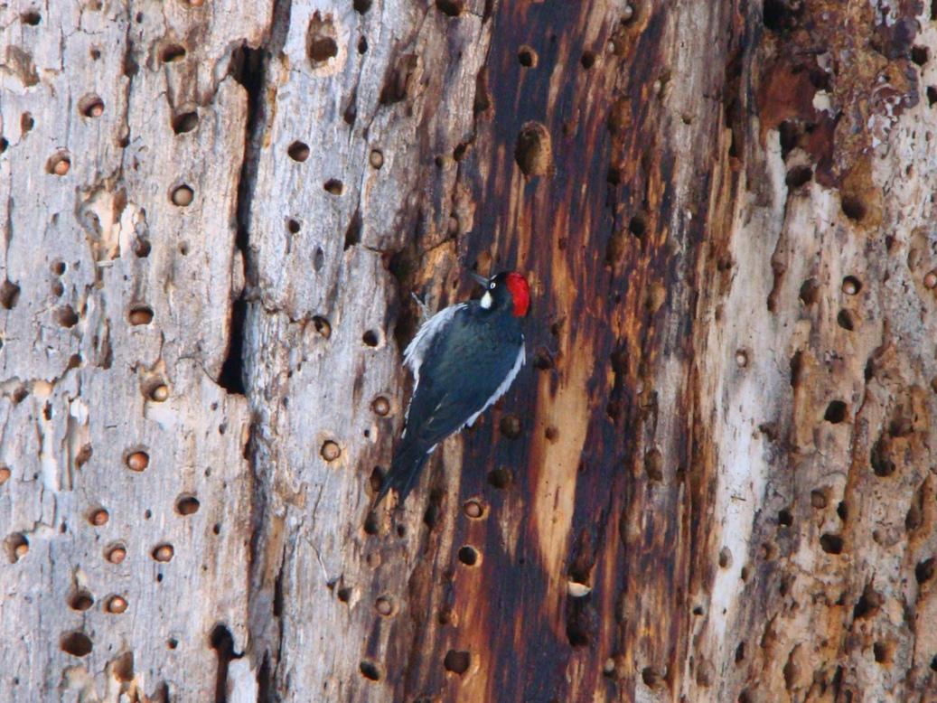 Дятел в дереве