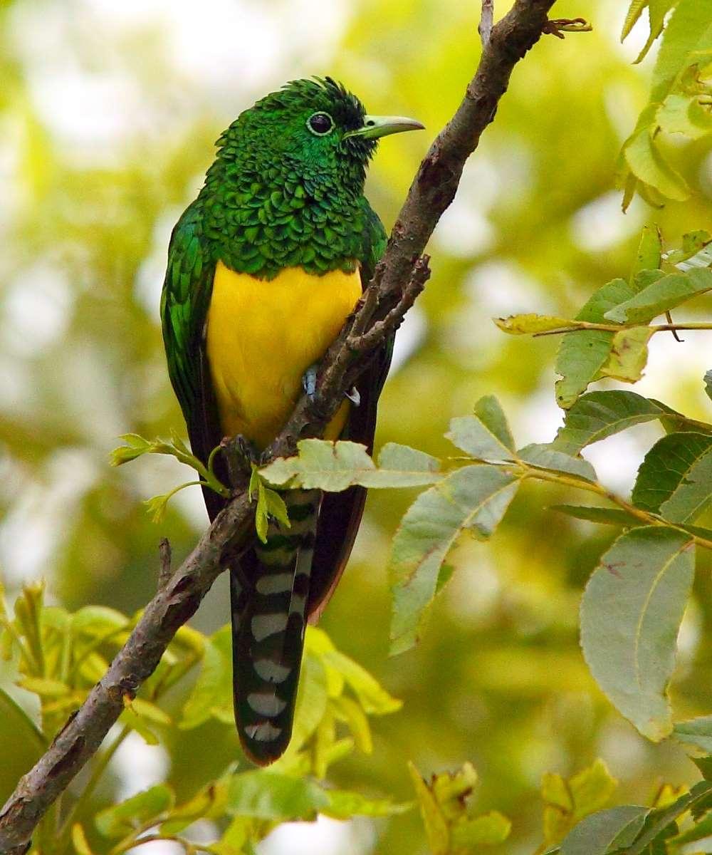 Африканский Изумрудный Кукушка на дереве