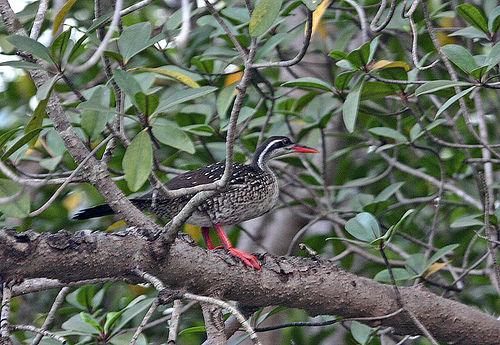 Африканская утка на дереве