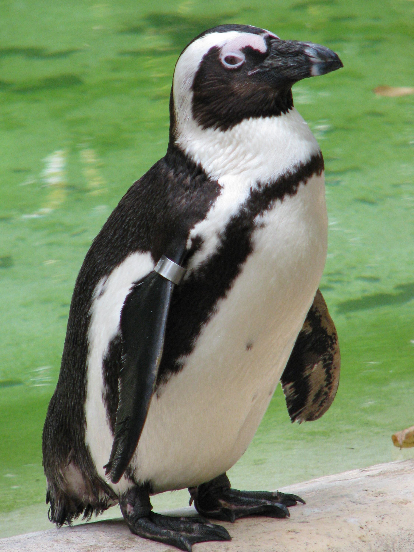 Очковый пингвин