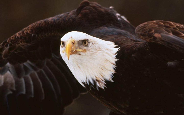 Американский Белоголовый орлан обои