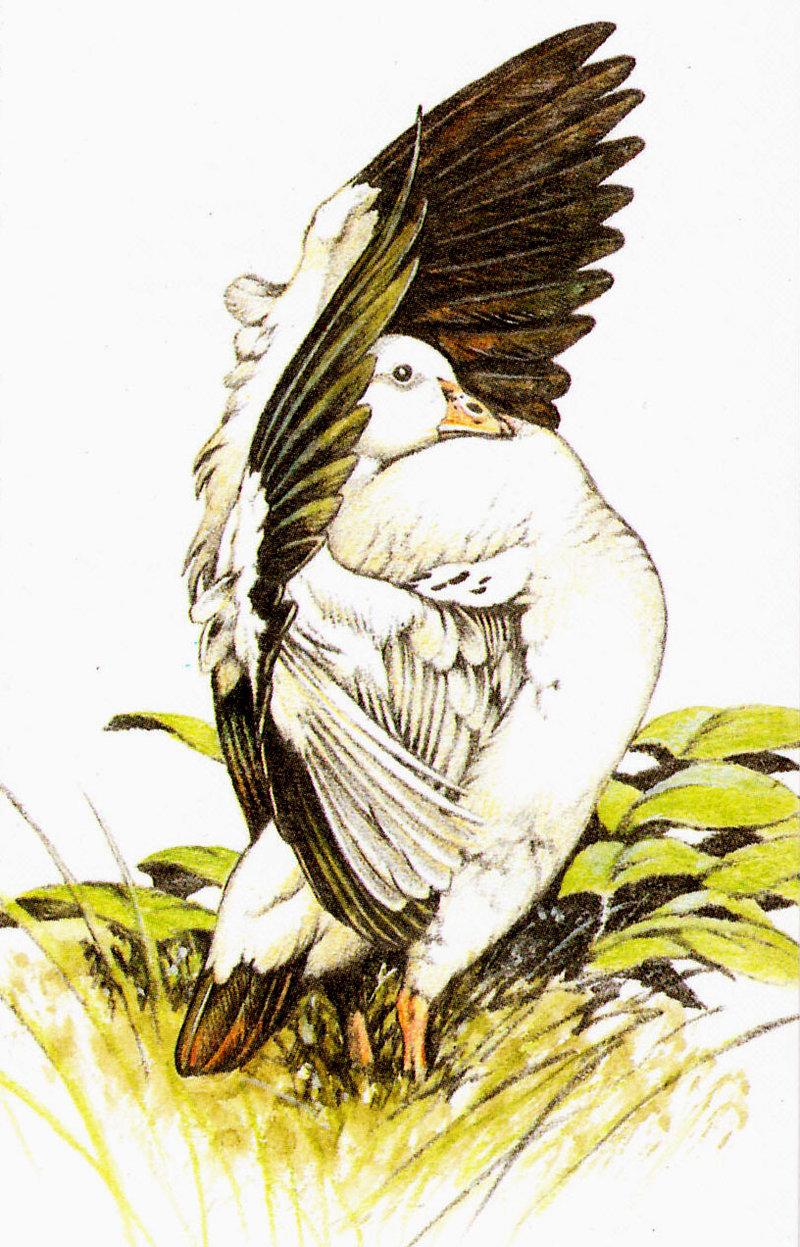 Нарисованный Андский гусь