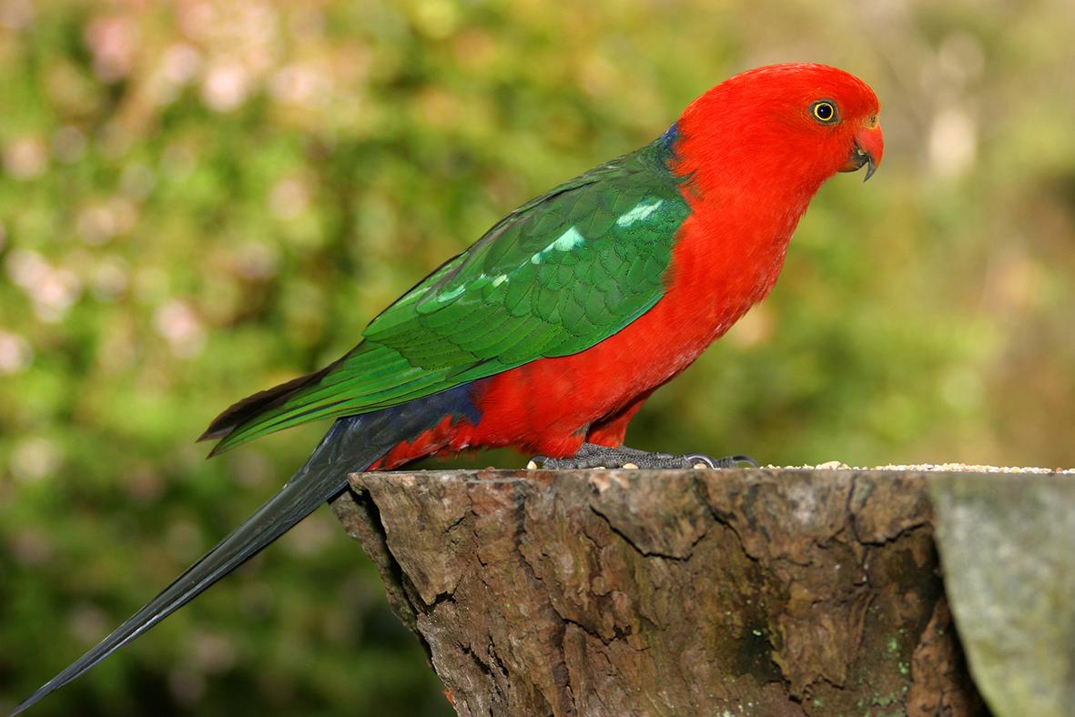 Королевский попугай на пеньке