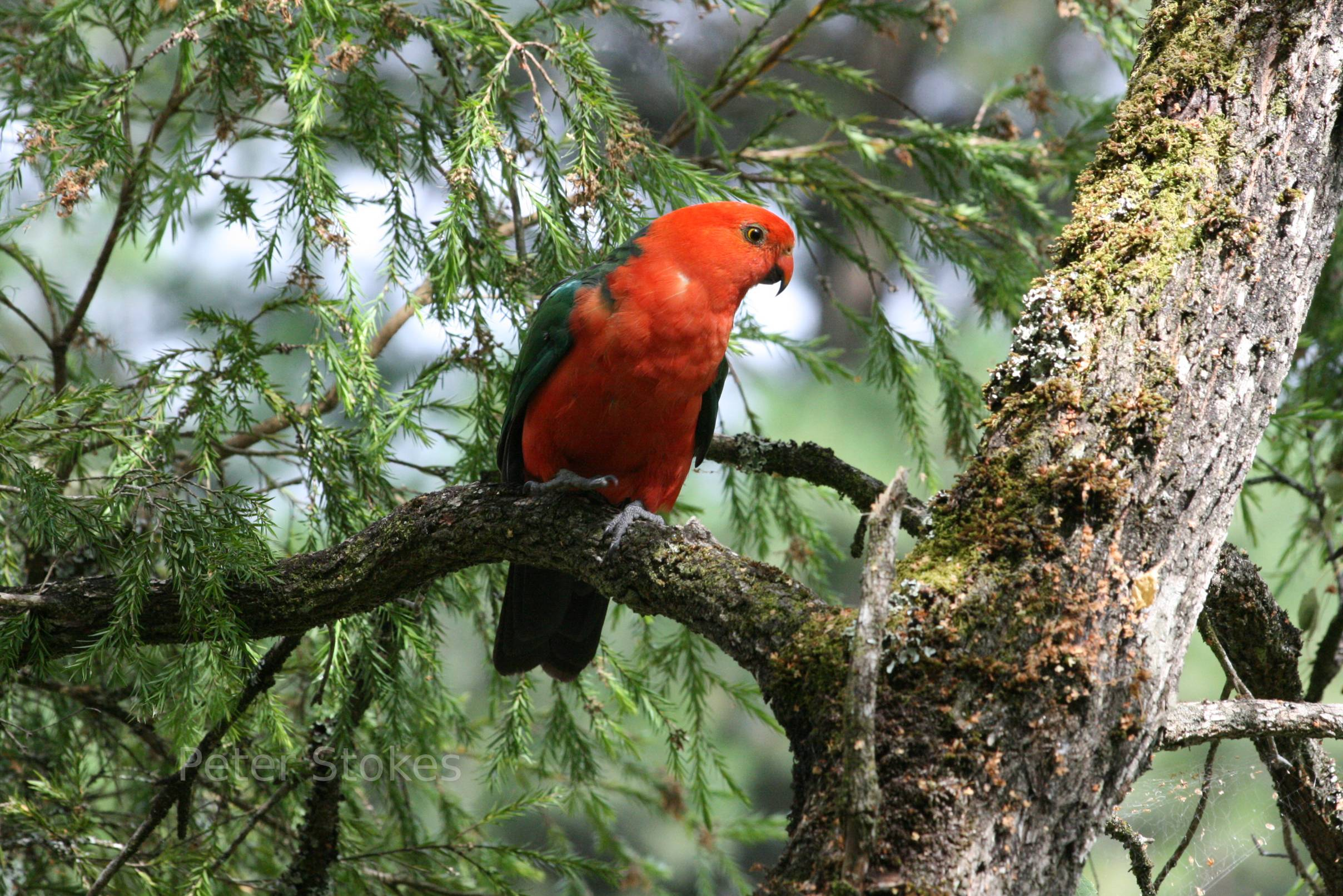 Королевский пропугай на дереве