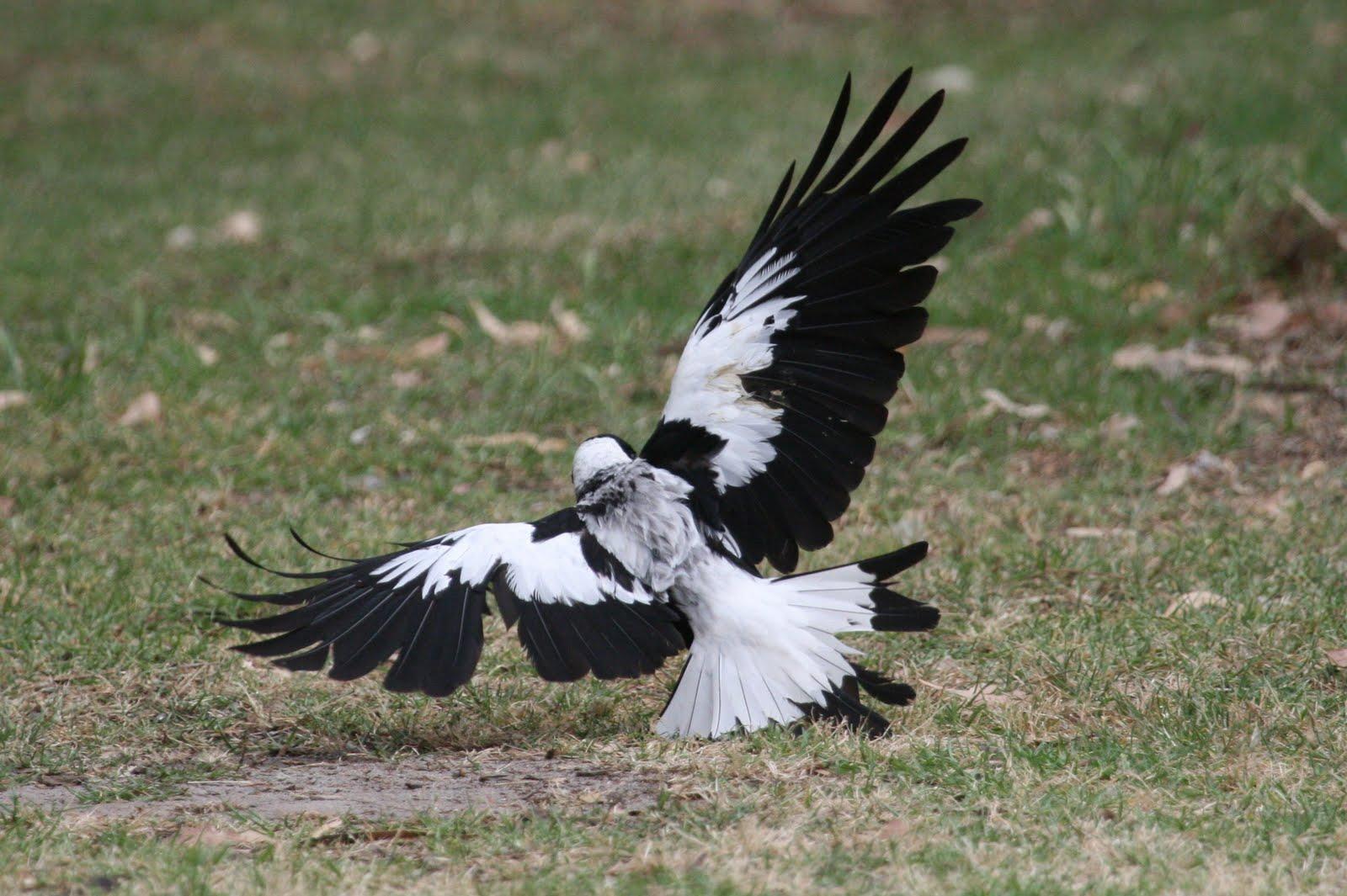 Ворон-свистун готовится к полету