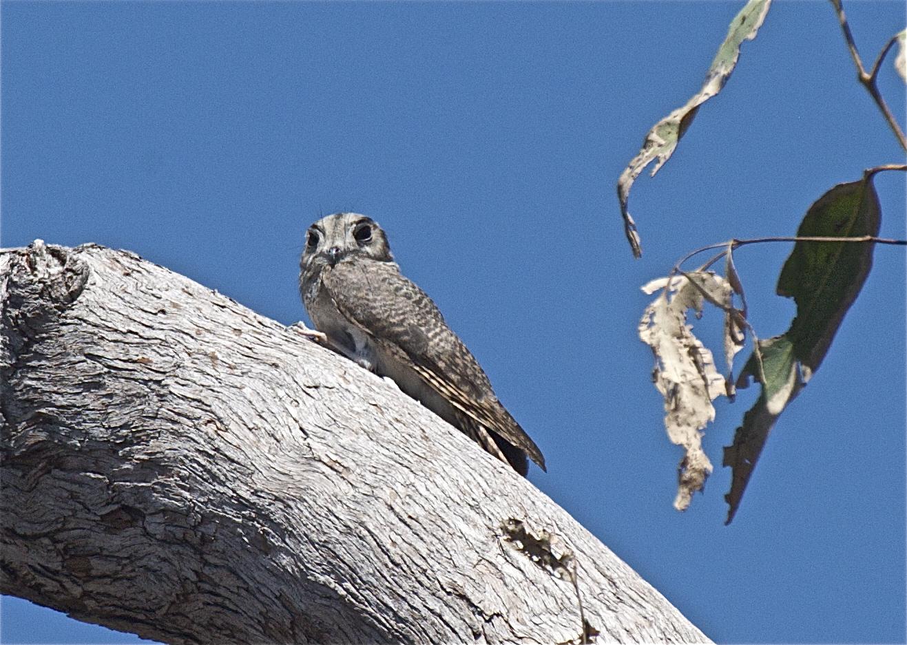 Австралийский совиный козодой на дереве