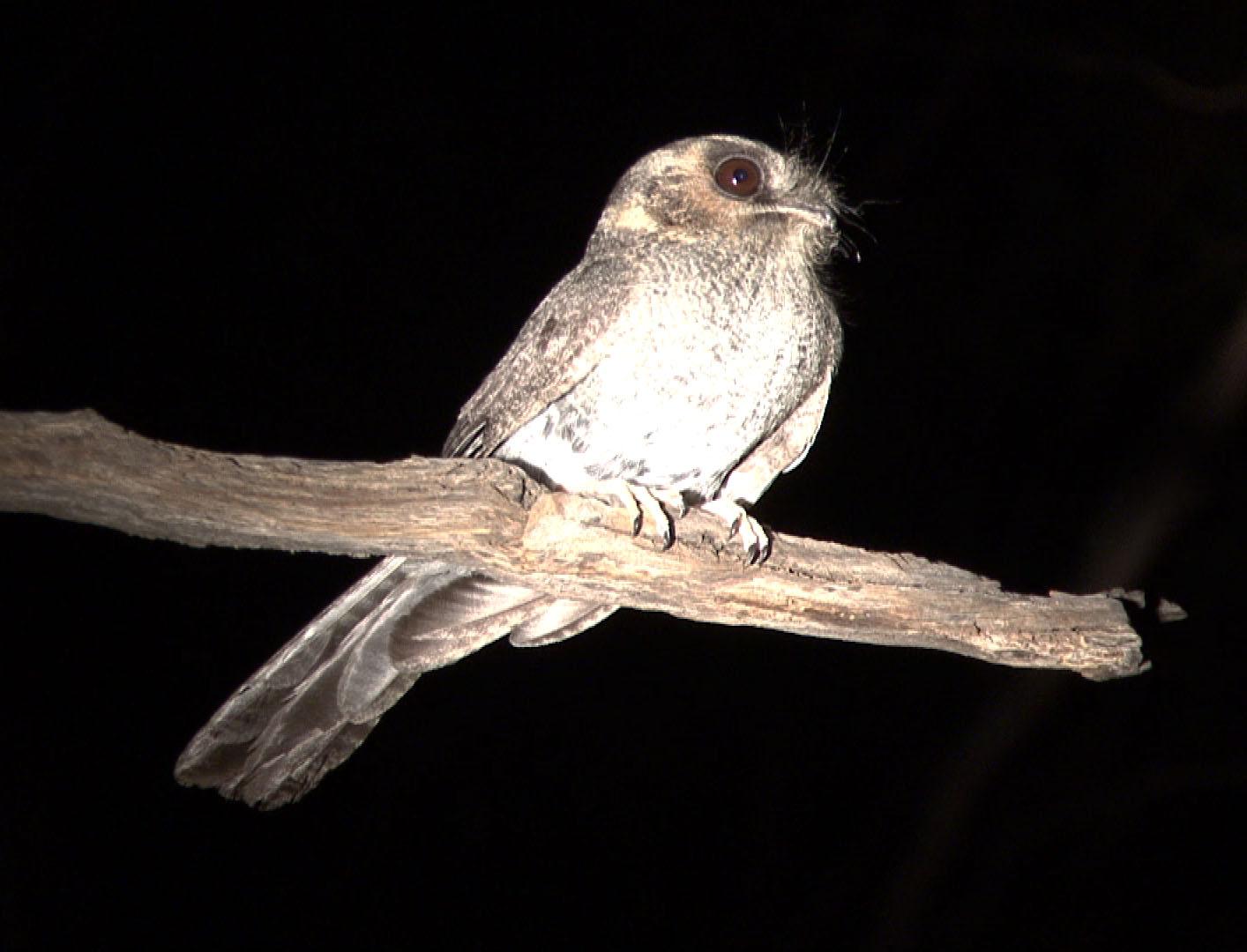Австралийский совиный козодой