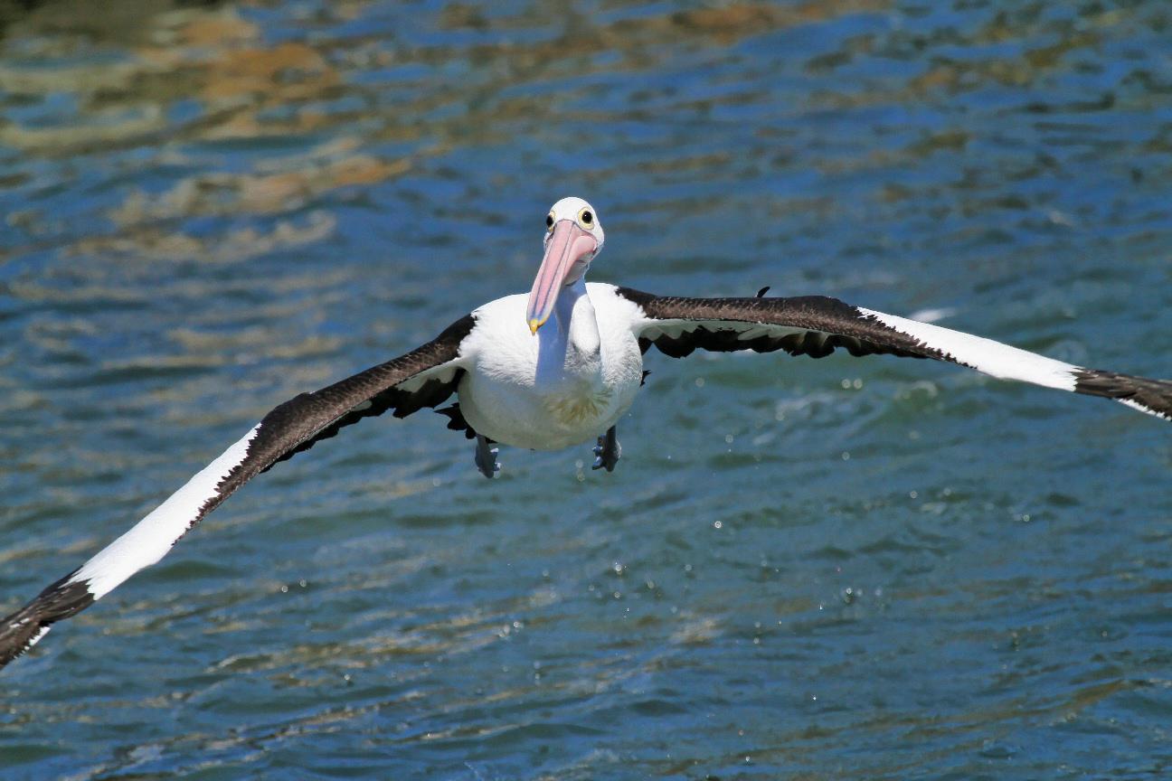 Австралийский пеликан летит над морем