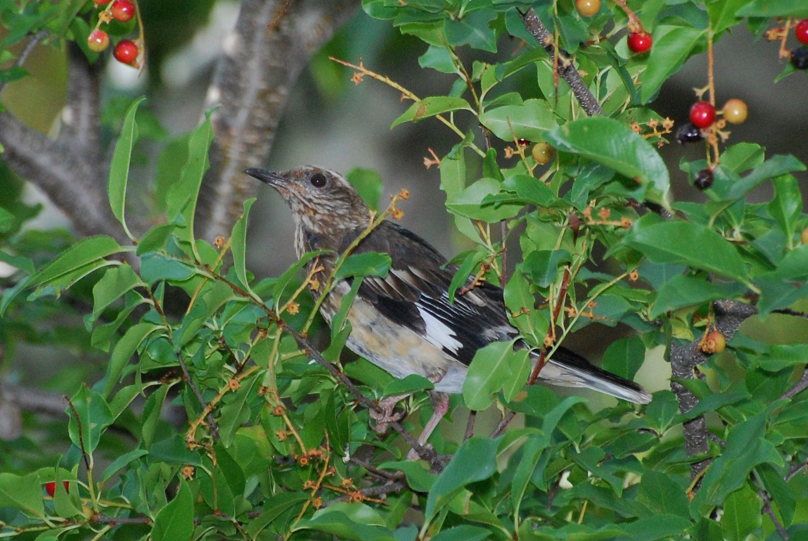 Птица ацтек-молочница на дереве