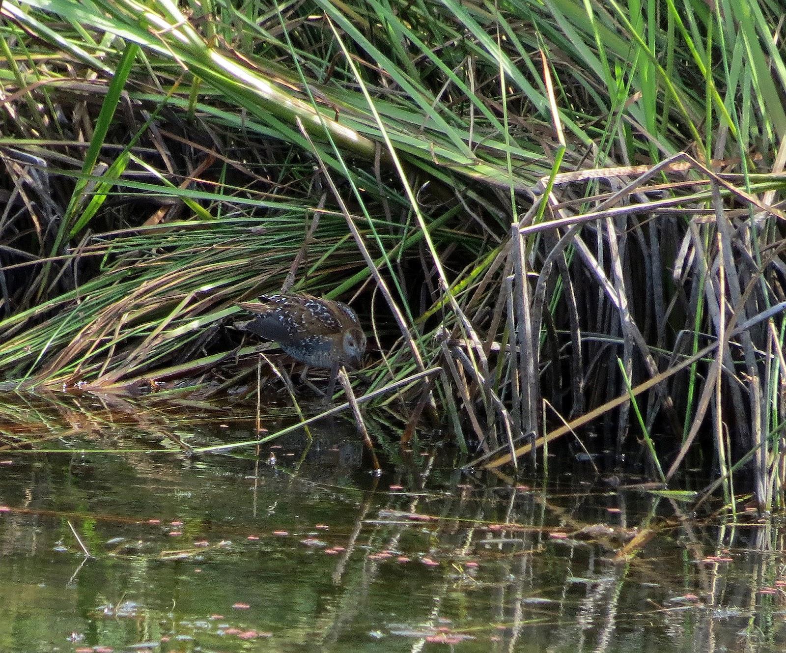 Погоныш-крошка возле воды