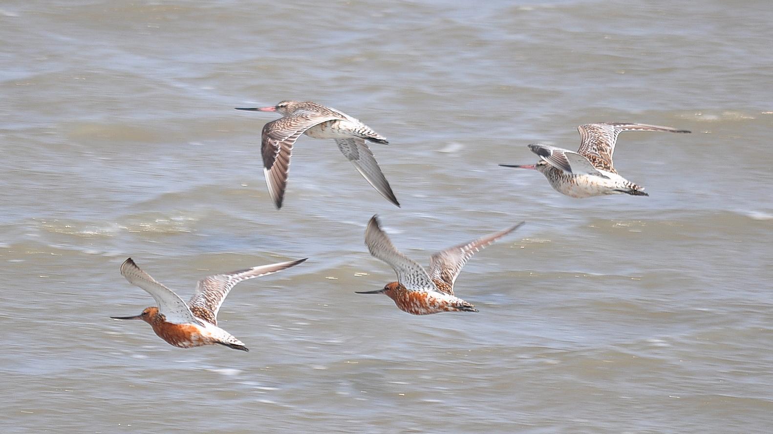 Малые веретенники над морем