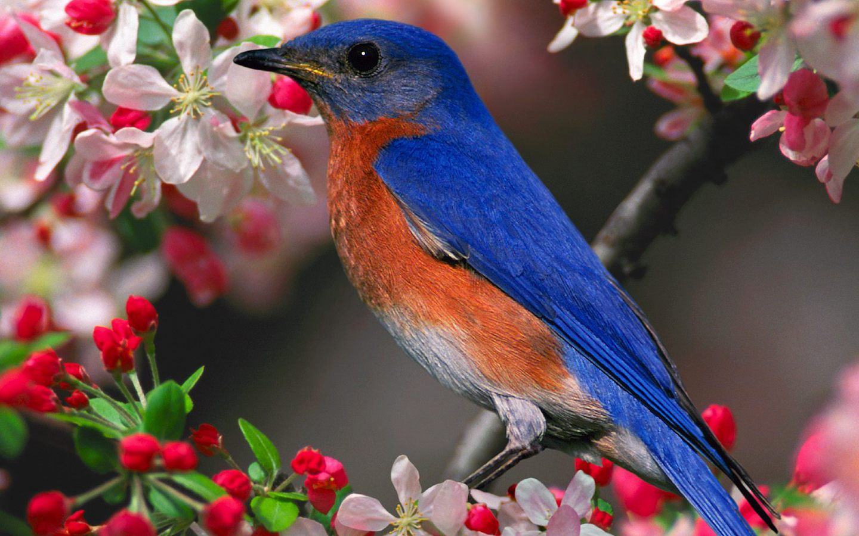 Синяя птица в цветах обои