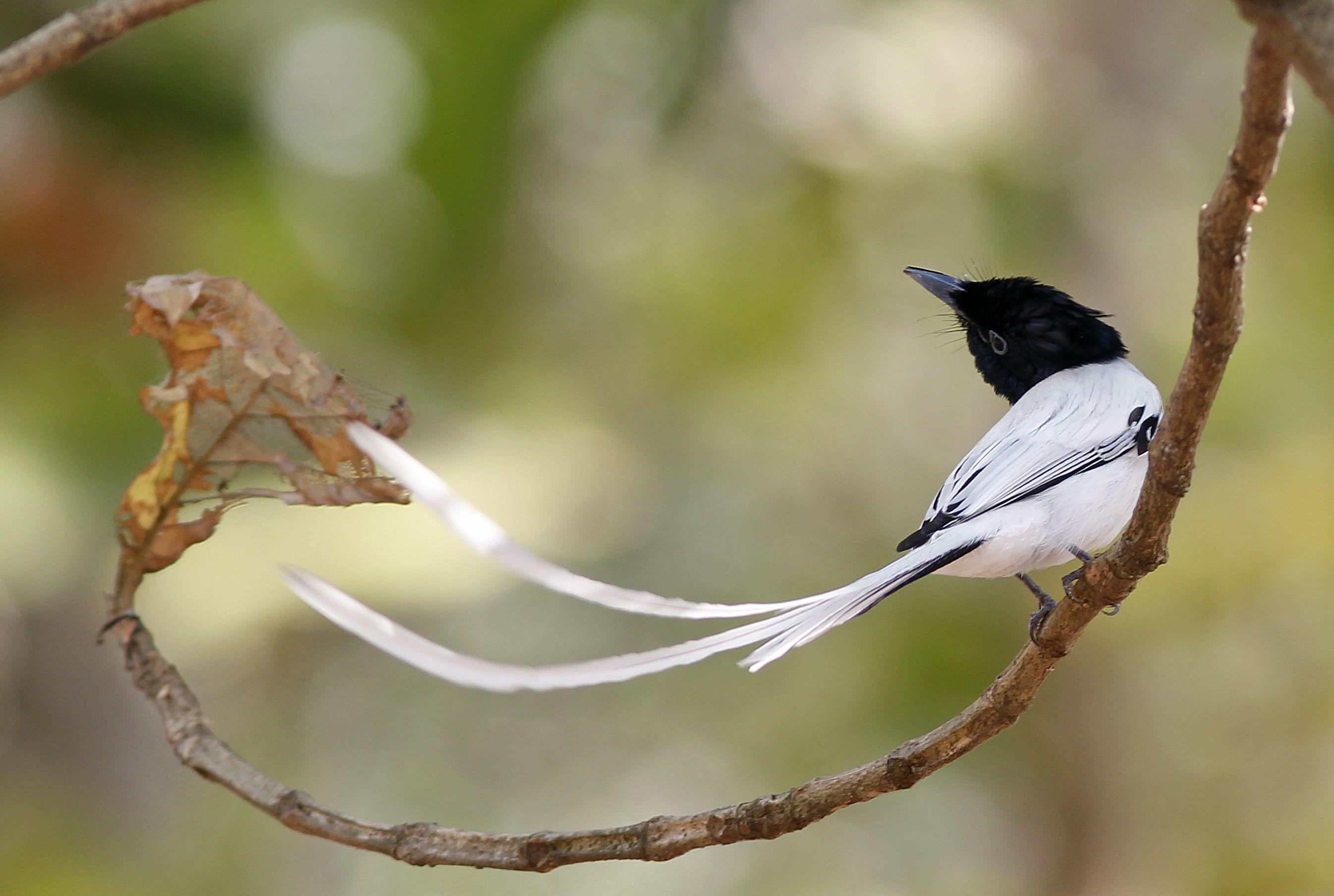 Очаровательная Райская мухоловка