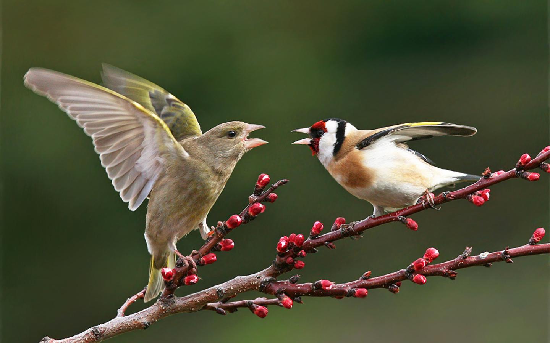 Дерущиеся птицы обои