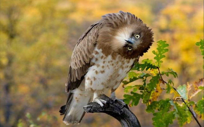 Сумашедший орел обои