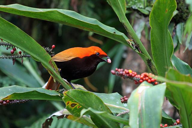 Атласная птица ест