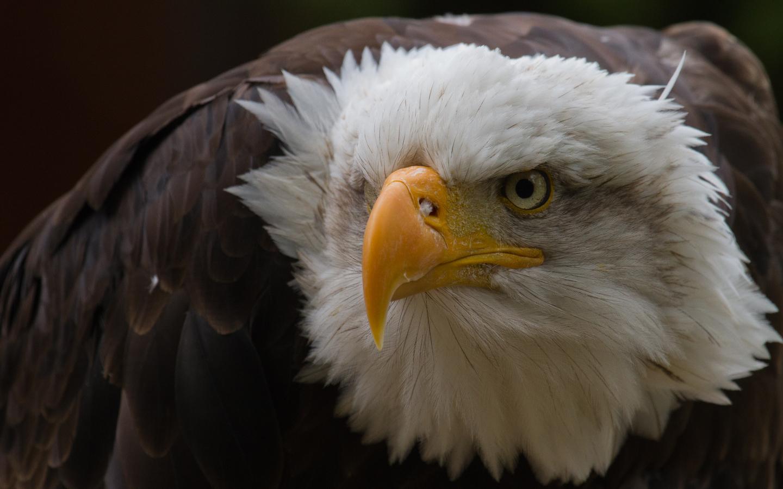 Глаз орла обои