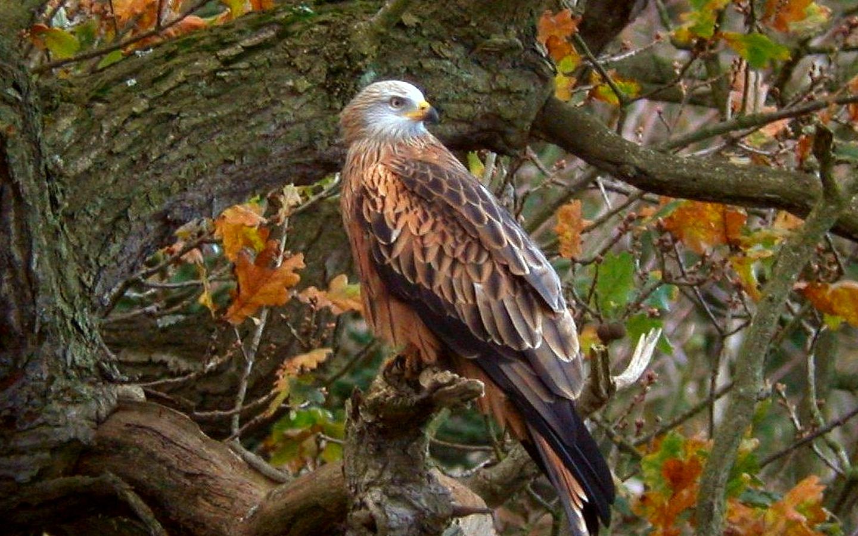 Орел на дереве обои